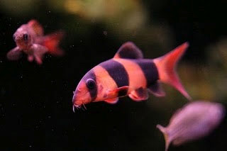 Single Clown Loach