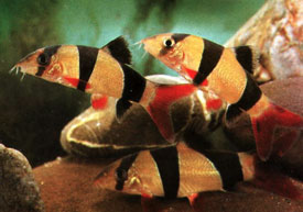 Three Clown Loaches